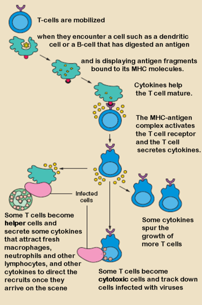 FileT cell activation-es.png - Wikimedia Commons.
